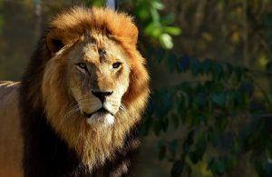 מלך החיות